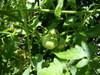 Tomato0001